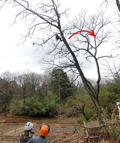 重力に逆らって倒す木