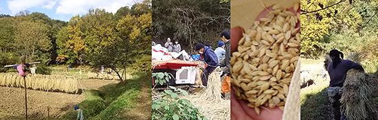 東京の田んぼの脱穀