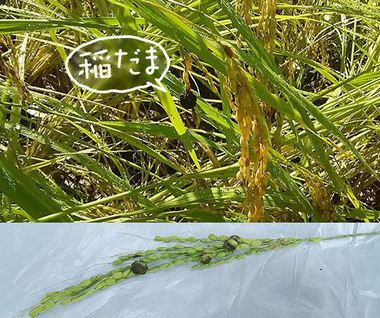 稲に付いた稲だま