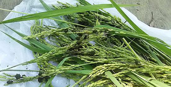 稲霊(いなだま)稲麹
