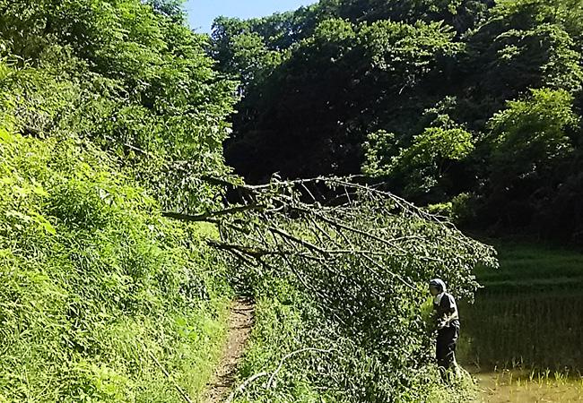 谷戸田に向かって倒れた木