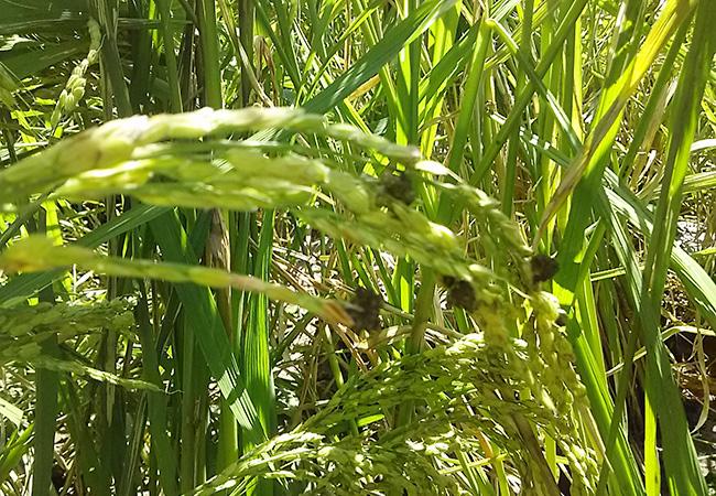 田んぼの中の稲だま