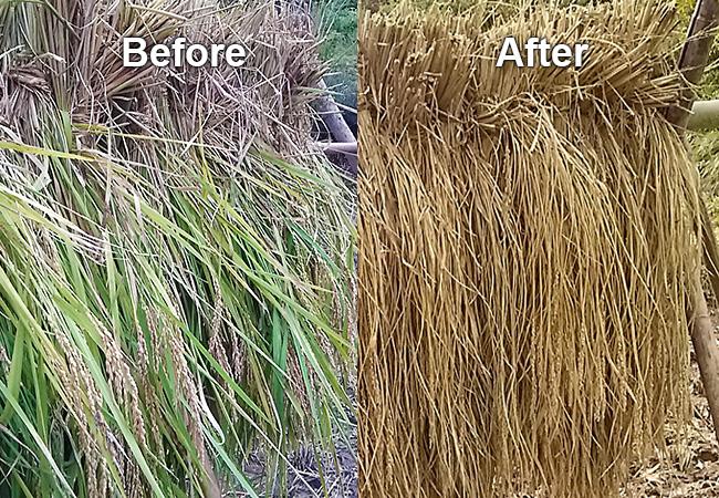刈り取ったばかりの稲とはさ掛けして3週間たった稲