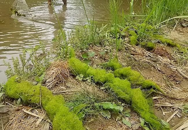 田植え前に繁殖した水藻