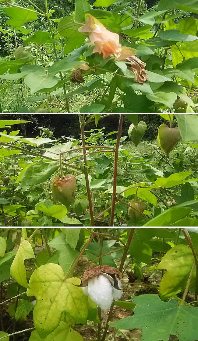 綿の花と実 A flower and fruit of the cotton