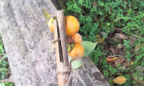 柿を採るための細工をした竹