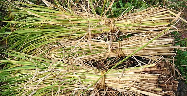 藁で束ねた稲
