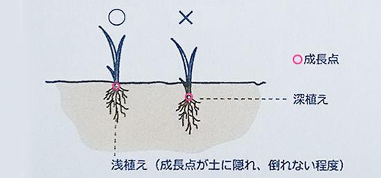 浅植えと深植えの図