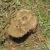 木の切り株